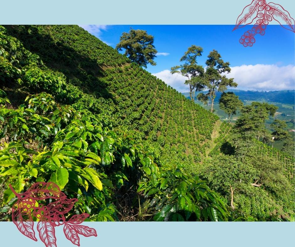 Plantage von Arabica Kaffee für Kaffeewelt