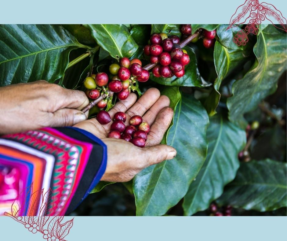 Arabica und Robusta Ernete Kaffeewelt